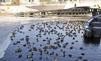 Brandweer bevrijdt watervogels Julius Caesarbrug Leiden