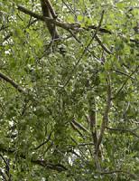 17 juni Brandweer verwijderd gevaarlijk hangende tak