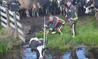 17 april Brandweer rukt uit voor een koe te water Oukoopsedijk Reeuwijk
