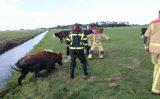 30 september Brandweer trekt onderkoelde koe uit sloot Woudseweg Den Hoorn