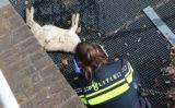 30 april Twee dode lammetjes uit het water gehaald Oostsingel Delft