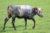25 juli Brandweer haalt wederom zwemmende koe uit water Zuidkade Delft