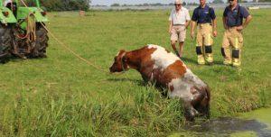 28 augustus Brandweer haalt koe uit water langs N470 Delfgauw