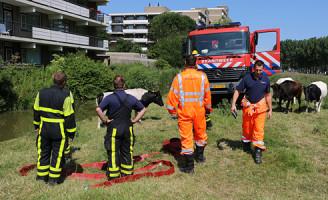 3 juli Brandweer haalt koe uit het water Weidedreef Rijswijk
