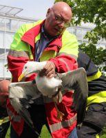 21 mei Brandweer helpt dierenambulance met gewonde meeuw Nieuwe Tuinen Honselersdijk